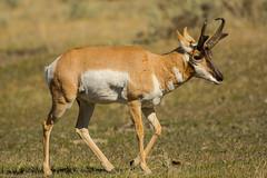 Restful walk {Explored} (ChicagoBob46) Tags: pronghornantelope antelope buck yellowstone yellowstonenationalpark nature wildlife coth5 ngc explore explored npc