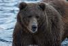 Kodiak Bear (wyrickodiak_9) Tags: kodiak island alaska brown bear grizzly sow cubs fishing mammal wildlife