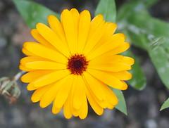 Late flowers of  a pot marigold plant. (Bienenwabe) Tags: flower macro autumn flowermacro potmarigold calendulaofficinalis calendula asteraceae ringelblume plant