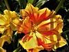 Tulips (Hannelore_B) Tags: blume flower tulpe tulip macro