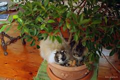 IMG_3856 (Protty coniglio nano) Tags: coniglio conigli castoro protty coniglietto coniglionano bonsai bonsaidificus
