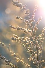 DSC_2009 (Birdiebirdbrain) Tags: nature naturephotography naturfoto natur plant plants winter frost rimfrost fredericia fredericiaramparts fredericiavold danmark denmark bokeh macro morninglight vinter nikon nikond3300 tokina tokina100mmf28