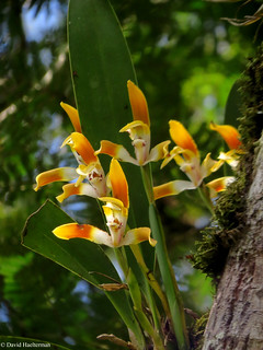 Bien arriba en un árbol, Maxillaria luteograndiflora (Distribución: Venezuela, Colombia y Brasil desde 1700 m hasta 2200 m snm) floreciendo in situ, departamento del Valle del Cauca, Colombia