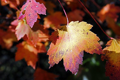autumn splendor (scott1346) Tags: leaves colors red yellow maroon light luminous lavender beauty autumn canont3i 1001nights 1001nightsmagiccity