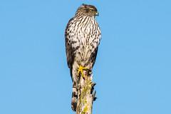 Hawk (mjeedelbr) Tags: hawk