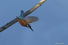 Martin Pêcheur (jeanot94) Tags: alcedoatthis kungsfiskare kingfisher martinpescador martinpescator martinpescatoreeurasiatico