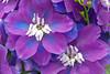0729Spring17 (Robin Constable Hanson) Tags: blue delphinium floral flower horizontal purple springfloralbloomflowerb white springfloralbloomflowerbluelavenderpurpledelphiniumverticalflowers