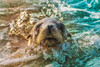 California Sea Lion (Amazing Aperture Photography) Tags: aquatic ocean sea bay california sandiego lajolla sealion seal sealionpup pup baby face portrait californiasealion nature wildlife water sunlight cute adorable outside whiskers eyes