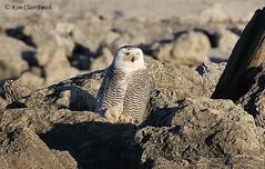 Snowy Owl  v3 (NatureKim) Tags: bird maumeebay buboscandiacus snowyowl toledo ohio predator owl