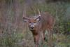 SplitEar2017 (jmishefske) Tags: wildlife antler november parkway nikon treeline split rack d500 buck ear whitetail rootriver 2017 deer musky