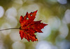 in your mind awhile (nardell) Tags: leaf leaves loneleaves fall autumn seasons weather nature naturephotography naturelovers one falling bokeh fallbokeh