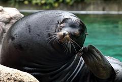 This itch! (Millie Cruz*) Tags: seal itch mammal animal bronxzoo newyork water zoo tamron18400 animalplanet