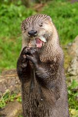 Hungry Otter! (Linda Martin Photography) Tags: devon wildlife otter britishotter mammal nature butterflyandotterpark lutralutra uk animal coth coth5 specanimal ngc alittlebeauty npc sunrays5