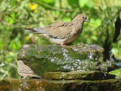 Mourning Dove, Armstrong Twp., Indiana Co., PA (Marg Higbee) Tags: mourningdove columbidae zenaida macroura
