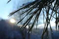 ❄️ (Paulvidb) Tags: grosplan canon épine winter hiver soleil sapin blanc glace neige photo photographie