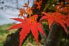 Autumn_colors (gnsk) Tags: fuji fujifilm xe1 swh 15mm voigtlander cosina super wideheliar macro もみじ 紅葉 maple japanese japan 富士フイルム コシナ adapter with focusing helicoid スーパーワイドヘリアー