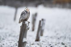 _RDX0040.jpg (rdelonga) Tags: nycteascandiaca snowyowl