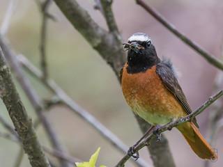 Common Redstart (Phoenicurus phoenicurus), male-8873