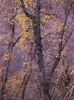 Kolob pastels redux (baro-nite) Tags: zionnationalpark utah kolobcanyons fallcolor maple acer mediumformat film e6 fujifilm velvia rvp50 pentax 645n smcpentaxa64514200mm epsonv700 affinityphoto