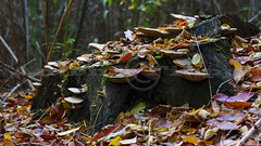 Nel bosco (filippi antonio) Tags: autunno bosco natura funghi foglie stagioni castelseprio lombardia italia canon autumn wood forest mashrooms