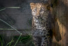 Rare, Endangerd, and Adorable (helenehoffman) Tags: amurleopard conservationstatuscriticallyendangered felidae bigcat panthera sandiegozoo cat pantherapardusorientalis fareasternleopard feline mammal animal coth5