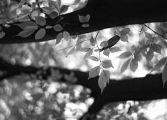 Fall aside (Mister Blur) Tags: noireetblanc blancoynegro bw blackandwhite montsouris parc paris happy bokeh monochrome thursday hbmt nikon d7100 50mm f18 fall leaves autumn automne otoño snapseed these european cities