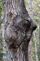 Face Image in Tree (dbarcus1) Tags: squirrel animal pareidolia mutation face anomaly tree