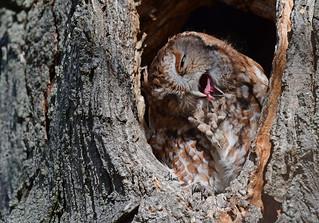 A talon and a tongue - Red-morph Eastern Screech Owl - 3270b