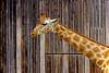 Girafe (Giraffa camelopardalis) (bernarddelefosse) Tags: girafe animal parcdelatêtedor lyon