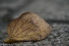 late autumn (~kenlwc) Tags: late autumn leaf leave macro sonya7r2 sony90mmmacro kenlwc kenleung hongkong still color bokeh 90mm