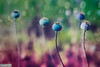 The papaver world (Anneke Jager) Tags: annekejager mood moody papaver flowerpower fantasticflower floral
