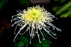 Chrysanthemum (Dakiny) Tags: 2017 autumn november japan kanagawa yokohama nature plant flower chrysanthemum macro bokeh nikon d750 afsnikkor85mmf18g nikonafsnikkor85mmf18g nikonclubit