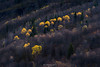 Yellow torches (Ron Jansen - EyeSeeLight Photography) Tags: norway valdres vang tree trees autumn leaves yellow bright torches forest branches colors intimate landscape oppland