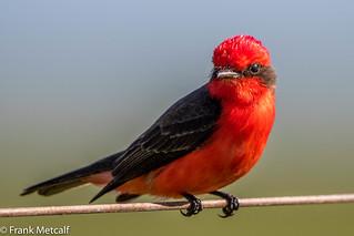 Vermilion Flycatcher (Pyrocephalus rubinus), El Palenque pampa, Argentina