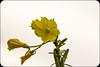 Enagra (paolotrapella) Tags: fiore floreale giallo yellow enagra verde natura