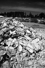 wacy02501oysters.tif (Jim Corwin's PhotoStream) Tags: landscape travel localattractions destination tourism tourist nature northamerica landmark sightseeing vacation outdoors naturalworld nobody famous location beautyinnature locallandmark iconic icon environment landforms mothernature pacific pacificocean pacificnorthwest nw coast coastal shoreline shore water beach beaches marinescene surf sea photography vertical tidepool marinelife pattern repitition similarity seashell seashells cluster group largegroup closeup abundance food seafood diet healthy oyster processingplant oystershells oysterville fishy shell foodanddrink shellfish nopeople oysterbed cultivated cultivate breed bred bivalvemollusks pile