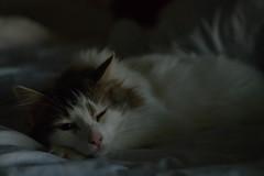 320/365 (Garen M.) Tags: nikond850 cat lowlight home jojo nikkor2470mmf28