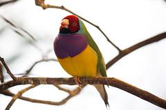 Gouldian Finch - Aviary (ÜℝℬⒶÑ Š№Θρ) Tags: gouldianfinch pittsburghaviary
