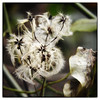 Day 328/365 2017-11-24 Gone to seeds (Kirsten Osa) Tags: waverleydistrict england unitedkingdom gb witleycommon clematis seedhead travellersjoy