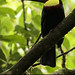 Yellow-throated Toucan, Ramphastos ambiguus