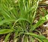 White-bear Sedge (Carex albursina) (John Scholze) Tags: whitebear sedge carex albursina wisconsin