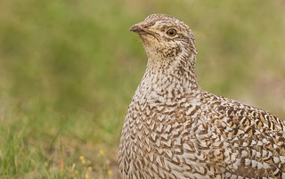Columbian Sharp-tailed Grouse (Tympanuchus phasianellus columbianus)