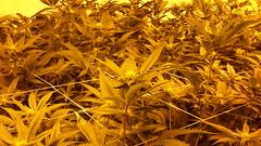 20150419_101616 (CannaPsy) Tags: hydroponics flood drain indoor medical cannabis marijuana weed horticulture high pressure sodium hps og