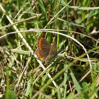 Brown Argus (female)