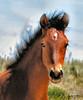 WILD YOUNG COLT (Aspenbreeze) Tags: wildhorse equine wildanimal horse wildcolt youngcolt colt nature wyomingwildlife coloradowildlife rural portrait bayhorse bevzuerlein aspenbreeze moonandbackphotography
