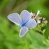 Argus bleu (Mariette80) Tags: argusbleu boves papillon