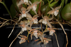 Pholidota chinensis 2017-11-13 01 (JVinOZ) Tags: orchidspecies orchid