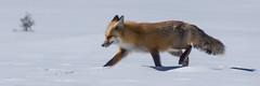 Grand Teton (Timothy D.) Tags: animals cameraandlens grandteton location mammals nationalpark nikond7100 tamron16300mm usa wyoming