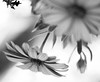 Groundless (risaclics) Tags: make me smile 50mm18macro 7dw dhahran february2016 nikond610 saudiarabia blackandwhite flora flowers makemesmile