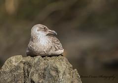 Resting Gull (Jim Crozier) Tags: gullnekiterivercanada2017 canoneos1dx canon300mmf28l14xiii